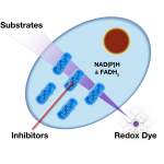 Mitochondrial Function using MitoPlates™